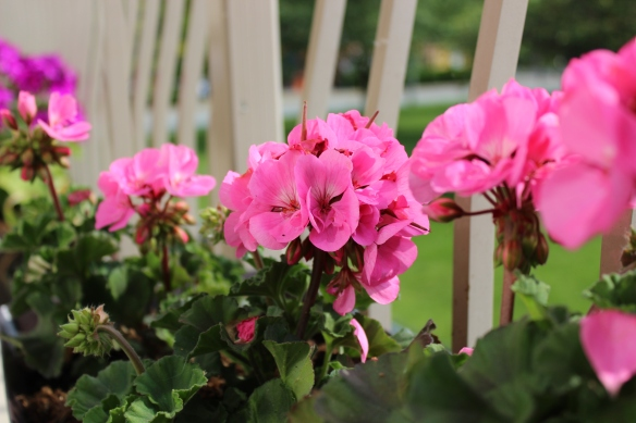 Geraniums Blooming on the Balcony