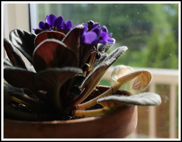 An African Violet growing on the kitchen window sill